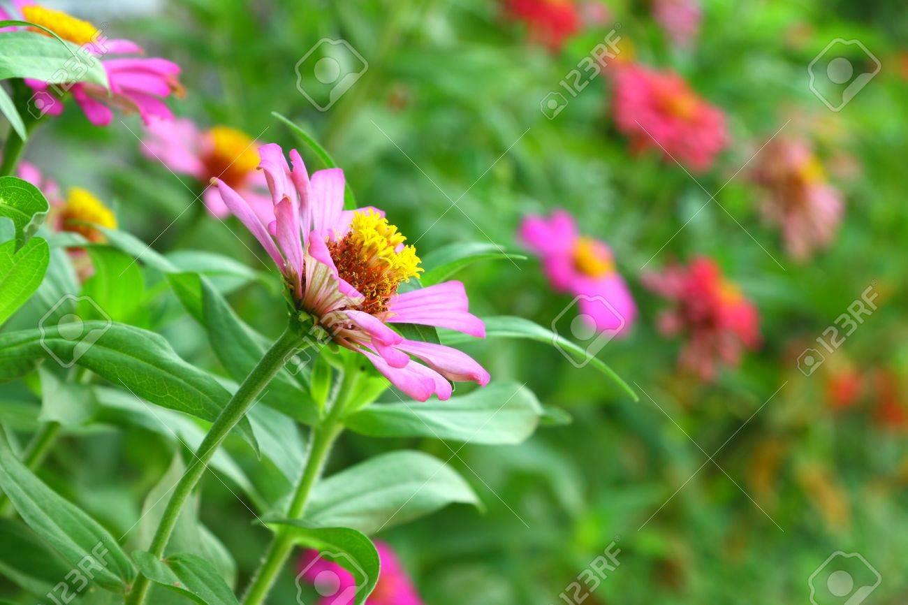 Pink zinnia Stock Photo - 13760063