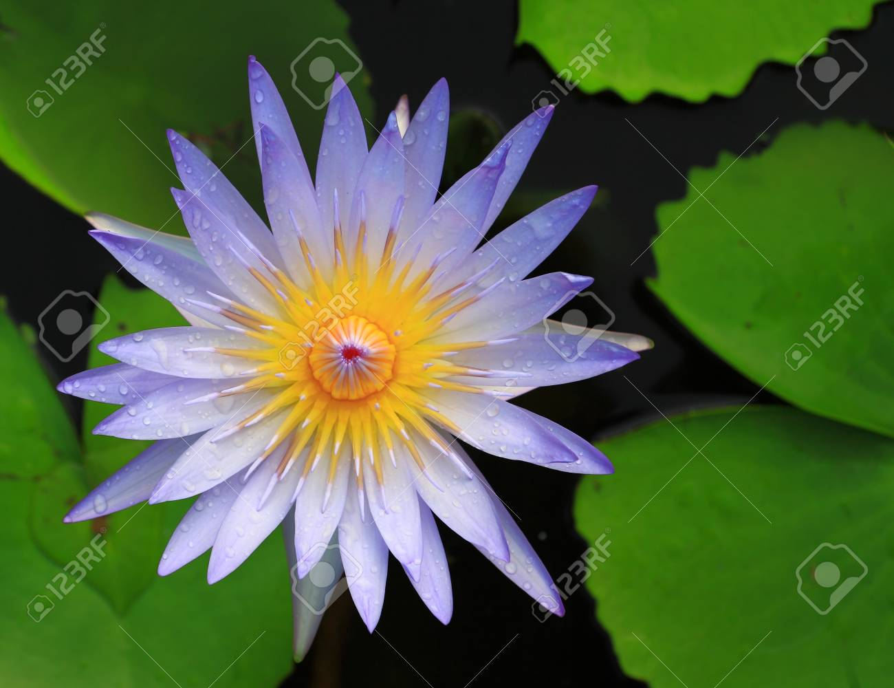 Blue lotus flower images images flower decoration ideas blue lotus flower royalty free stok fotoraf resimler grseller ve blue lotus flower stok fotoraf 14219916 izmirmasajfo