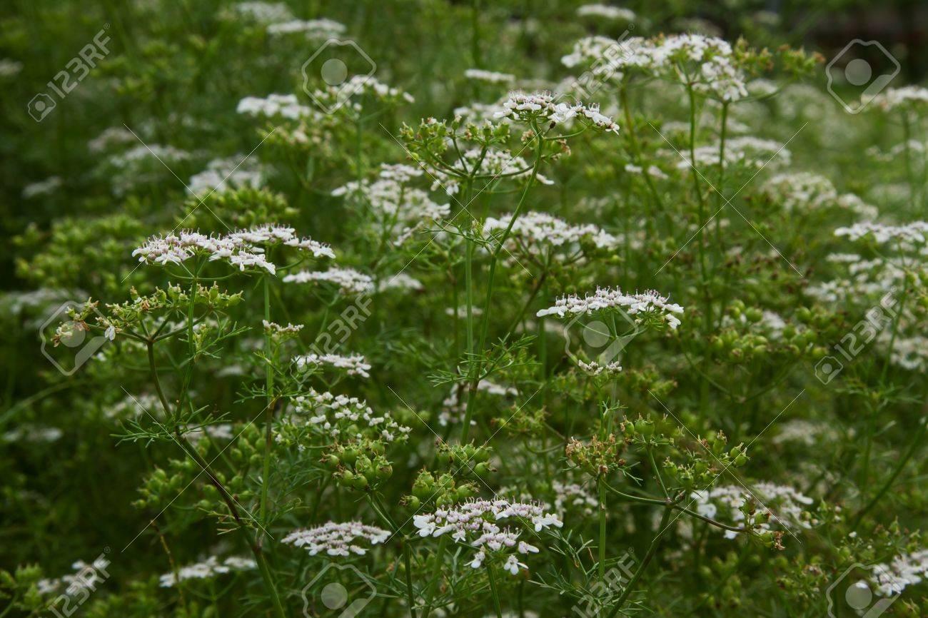 A Kind Of Coriander Vegetable Little White Flower Stock Photo