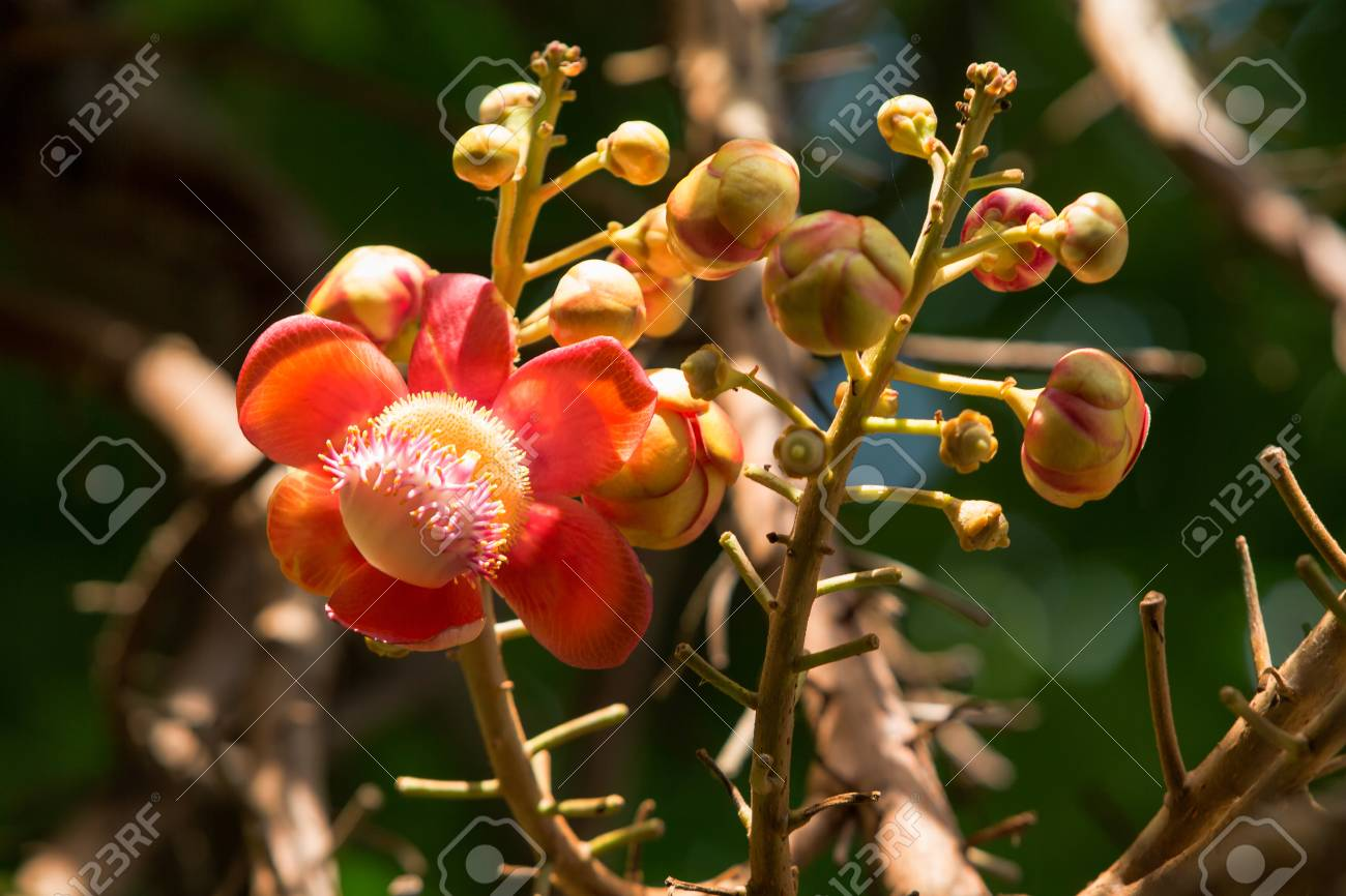 Flower Of Cannonball Tree In The Garden Stock Photo, Picture And ...
