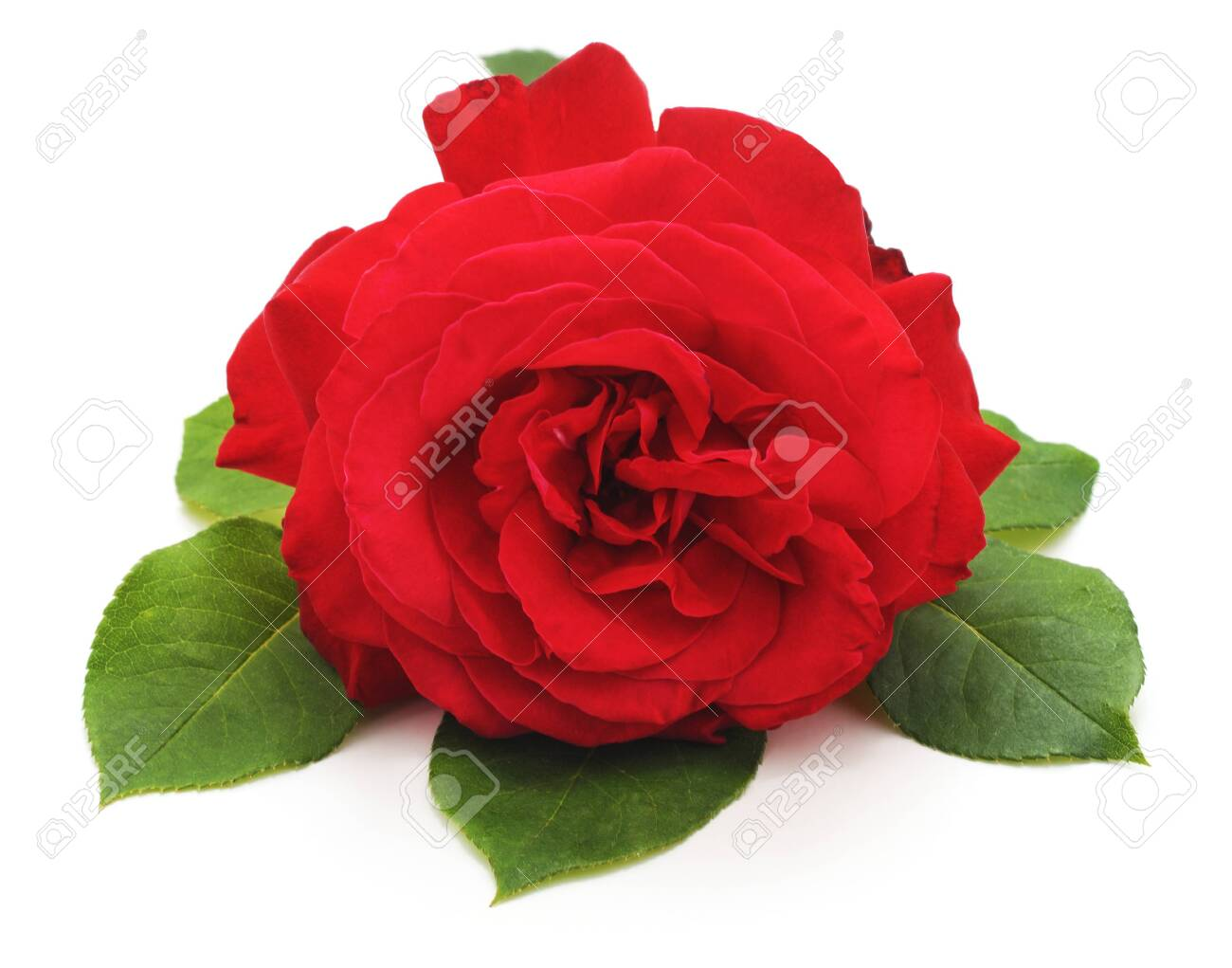 One red rose isolated on a white background. - 124457049