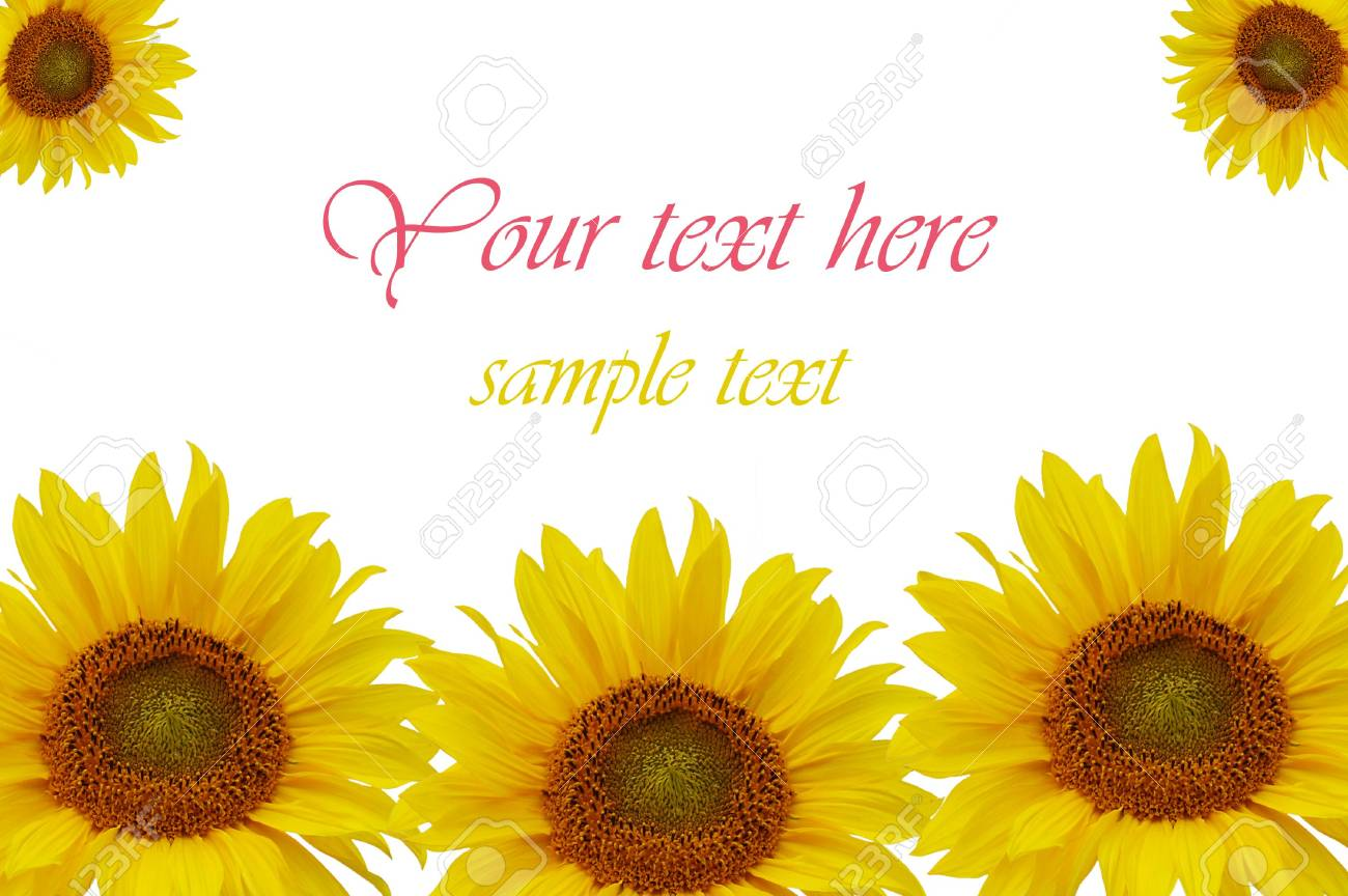 Yellow sunflowers isolated on white background Stock Photo - 6433311