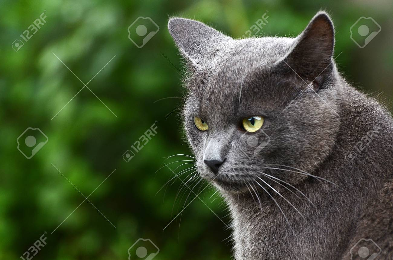 Close up portrait of a grey kitten Stock Photo - 21699522
