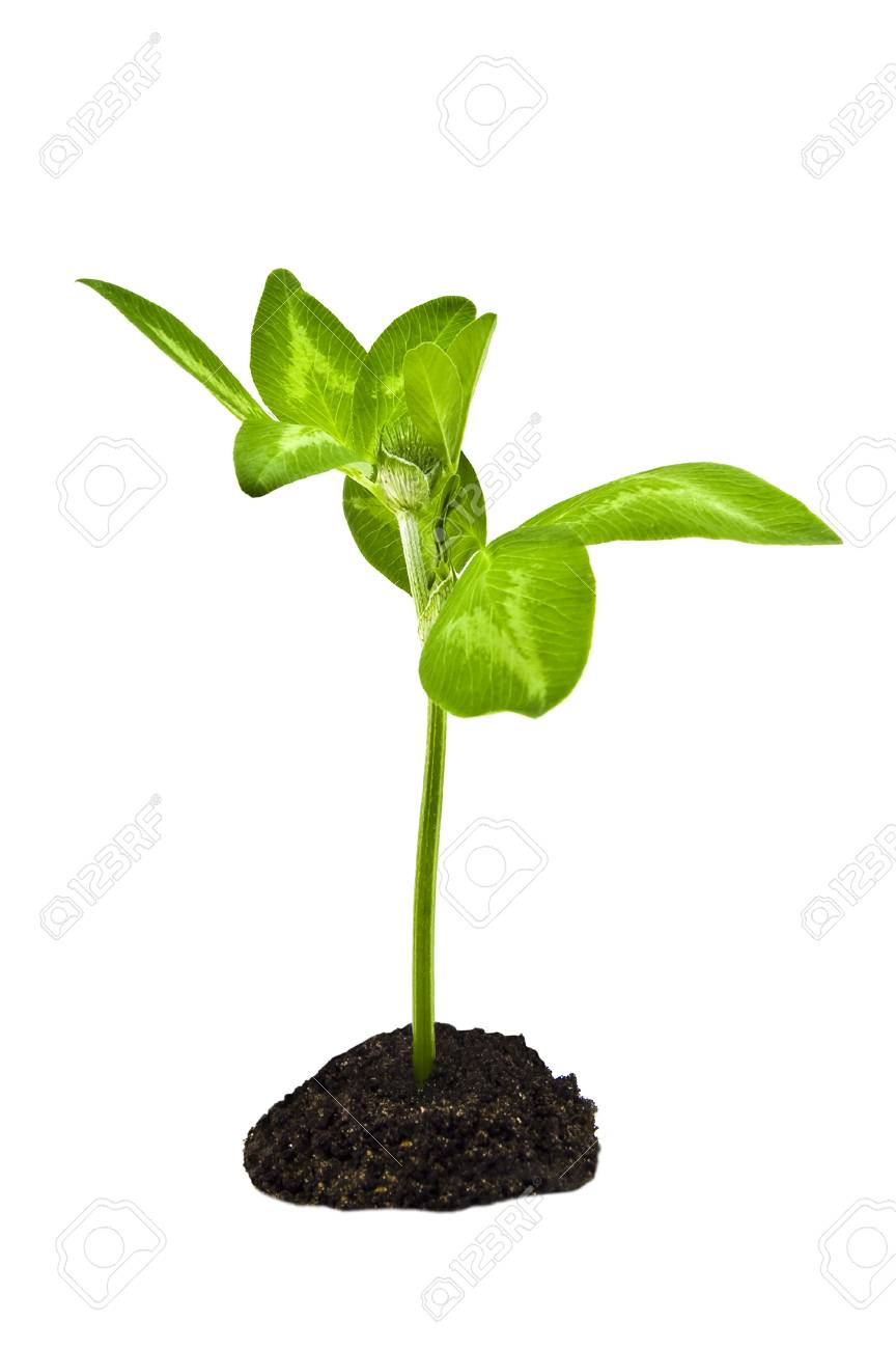 green plant isolated on white Stock Photo - 13566393