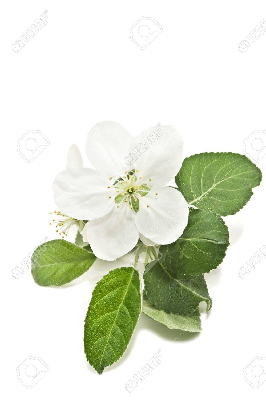 apple blossom isolated on white - 13566832