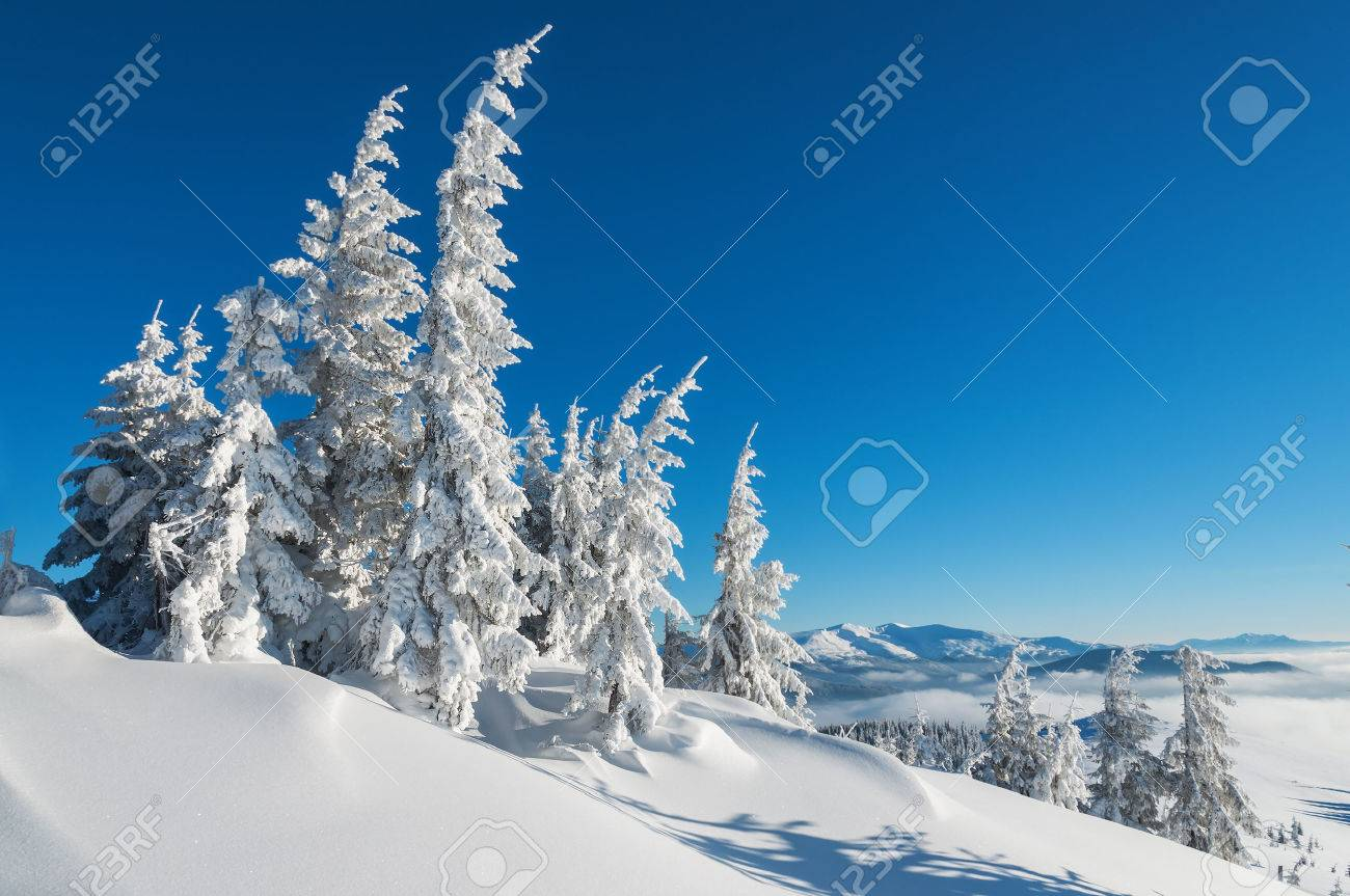 snow-covered firs in winter mountains - 48977406