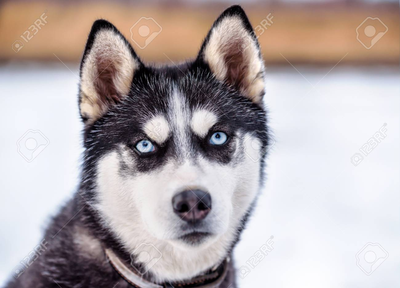Portrait Of Cute Smart Siberian Husky With Blue Eyes Stock Photo