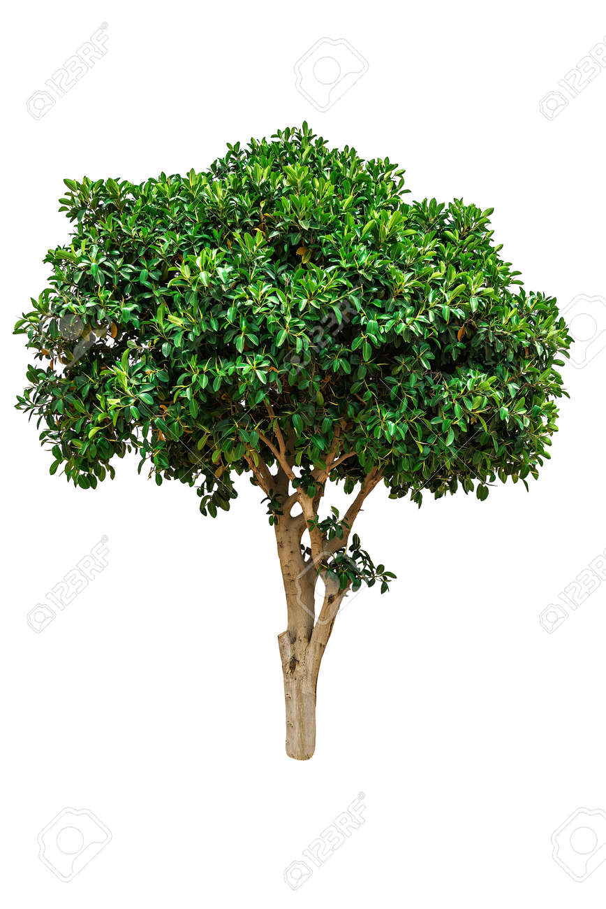 Green ficus elastica tree isolated on white - 168703678