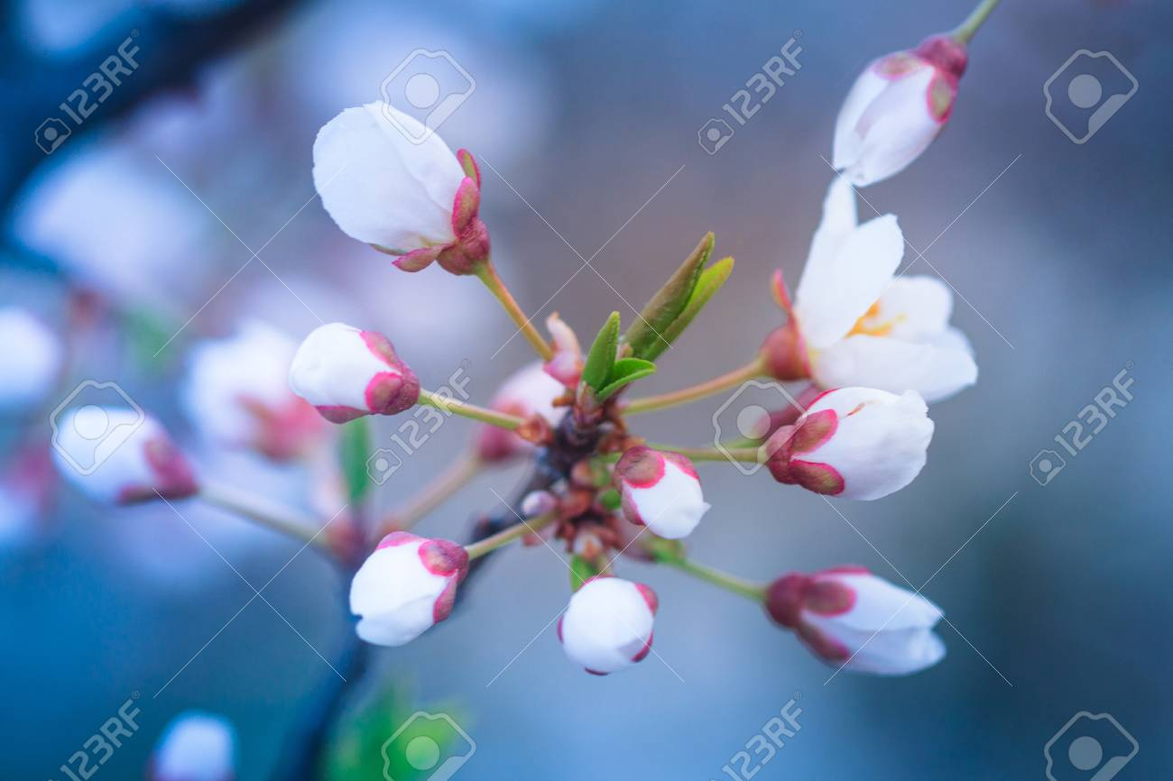 Blossoming Of Fruit Tree During Spring View Close Up Of Branch