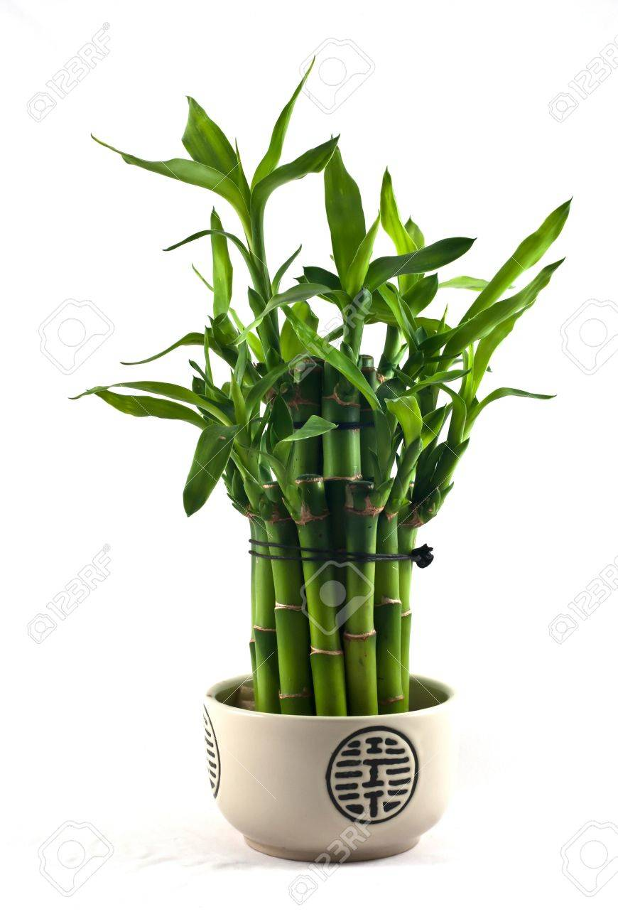 Lucky bamboo (Dracaena sanderiana) in a porcelain pot - 11800894