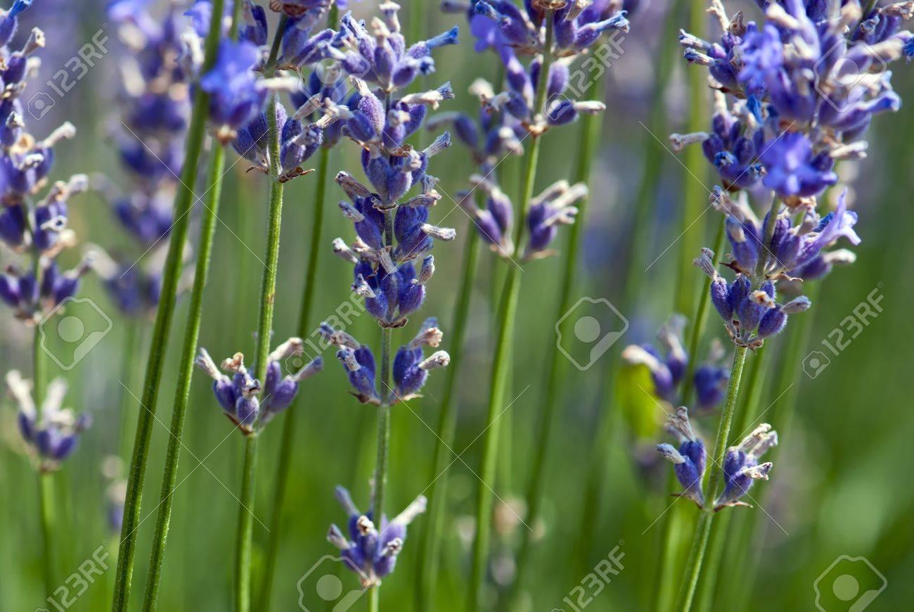 Detail of lavender flower Lavandula x intermedia - 18290627