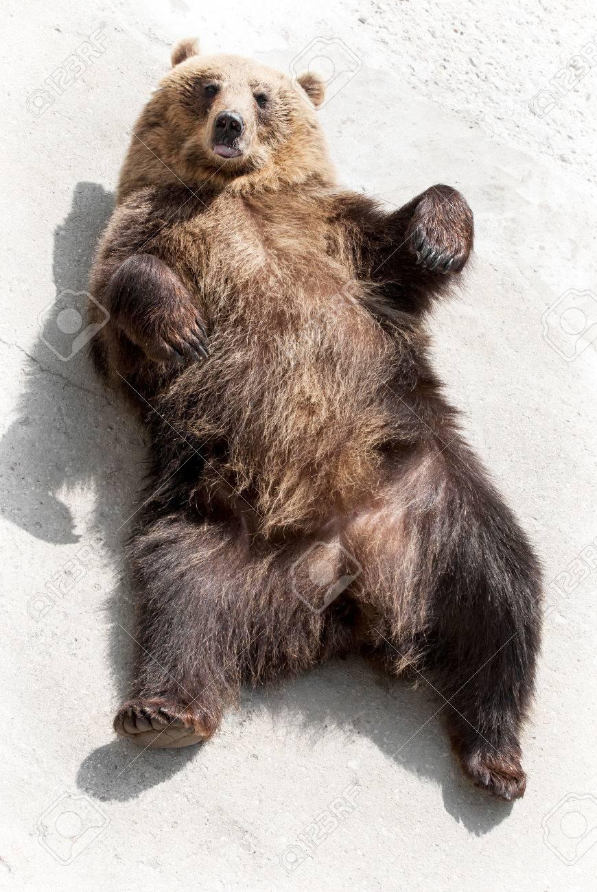 Brown bear (Ursus arctos arctos) lying on the ground. Funny animal photo. - 26784049