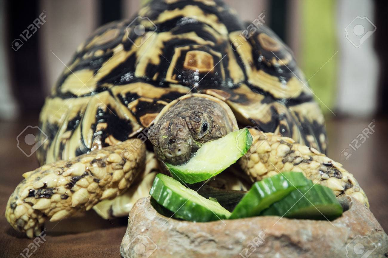 Leopard Tortoise Geochelone Pardalis Is Feeding Animal Theme