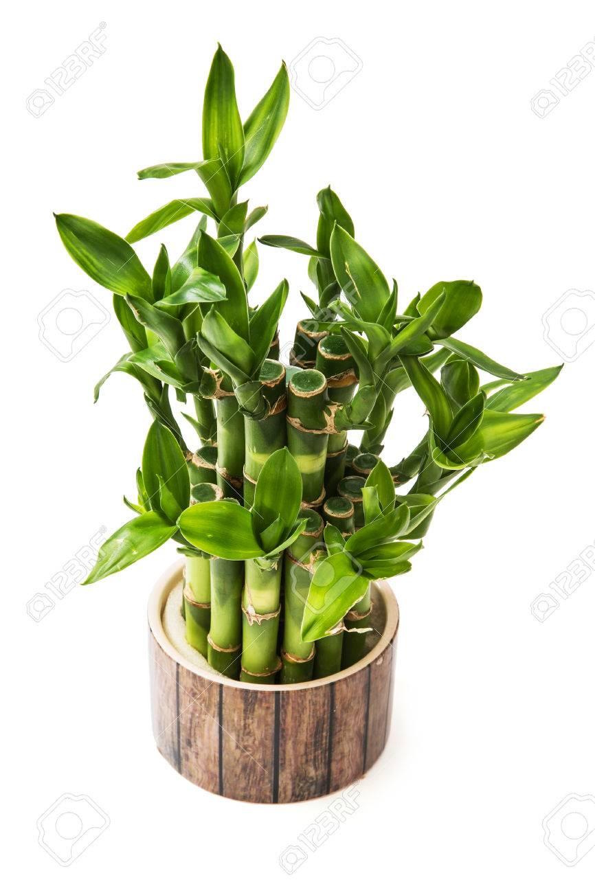 Grun Gluck Bambus Pflanze Isoliert Auf Den Weissen Hintergrund