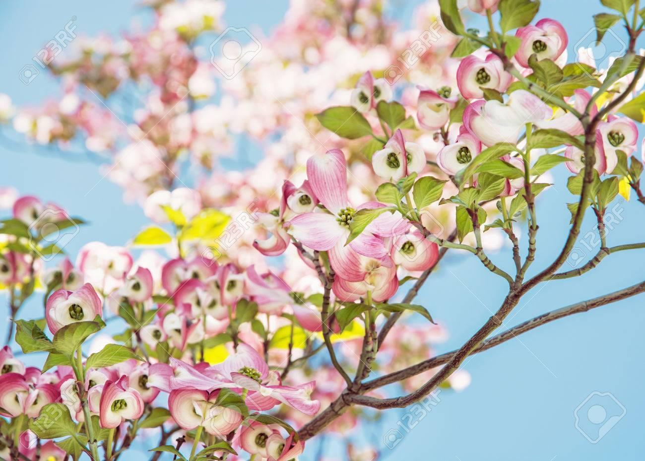 Cornus Florida Flowering Dogwood Is A Species Of Flowering