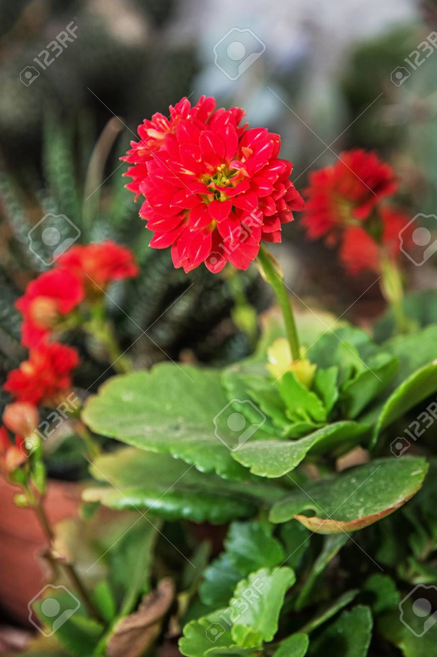 Detail photo of red dahlia flower natural scene herbaceous stock detail photo of red dahlia flower natural scene herbaceous perennial plant stock photo izmirmasajfo