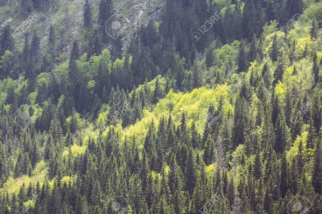Coniferous forest, Little Fatra, Slovak republic. Hiking theme. Seasonal natural scene. - 125320544