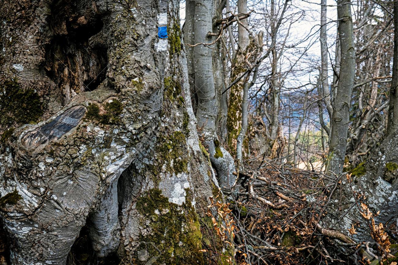 Old tree with blue tourist sign, Lysec hill, Big Fatra mountains, Slovak republic. Seasonal natural scene. Hiking theme. - 169797825