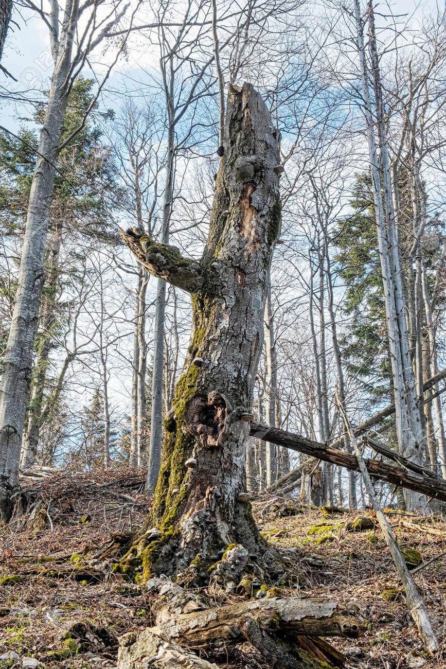 Head shape tree in deciduous forest, Big Fatra mountains, Slovak republic. Seasonal natural scene. Hiking theme. - 169797897