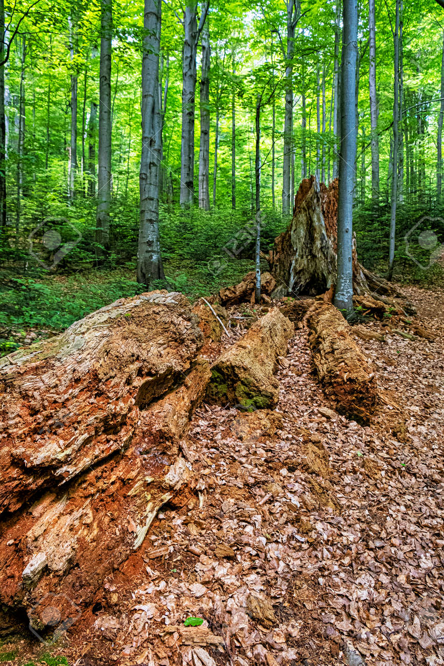 Dead tree, primeval forest Stuzica, National Park of Poloniny, Slovak republic. Seasonal natural scene. - 170399932