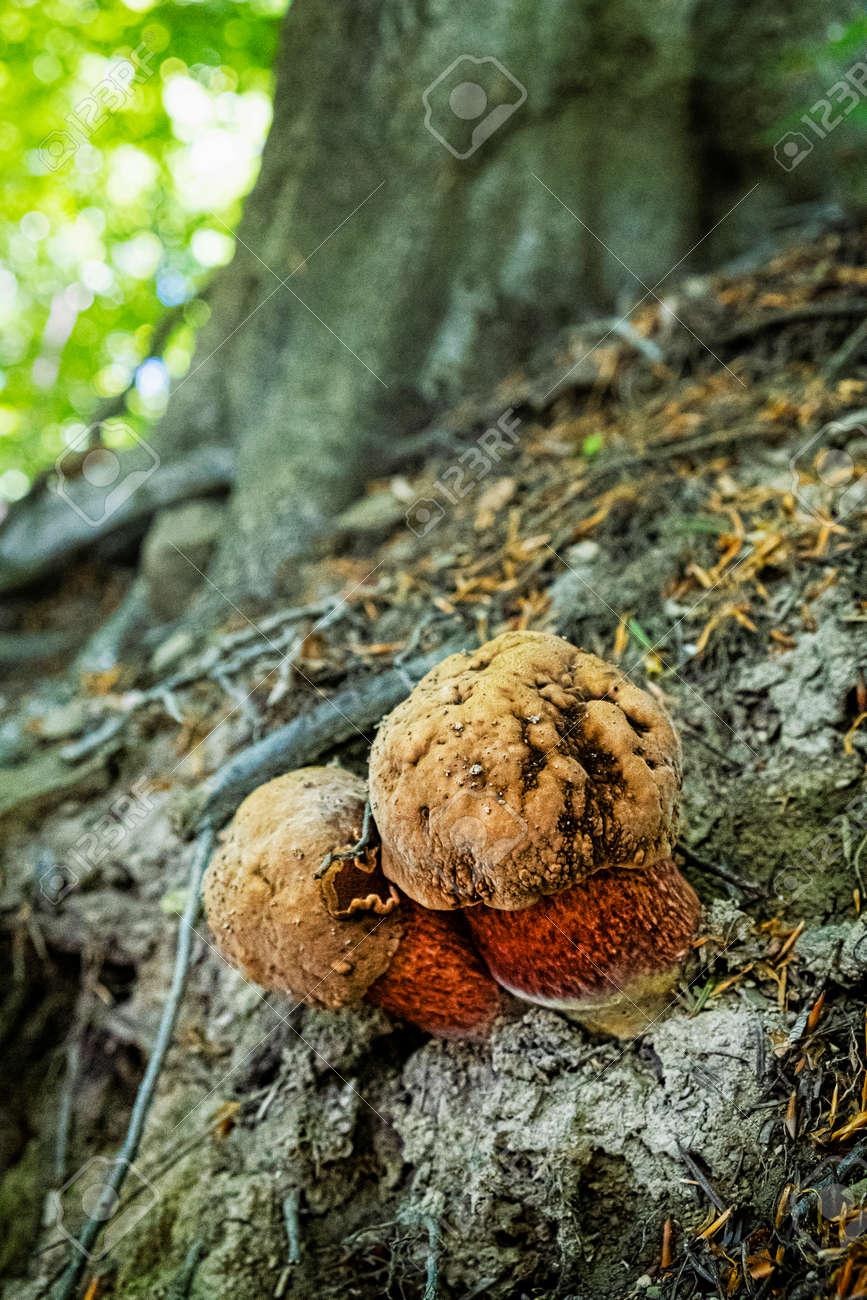Detailed photo of mushrooms, primeval forest Stuzica, National Park of Poloniny, Slovak republic. - 170636509