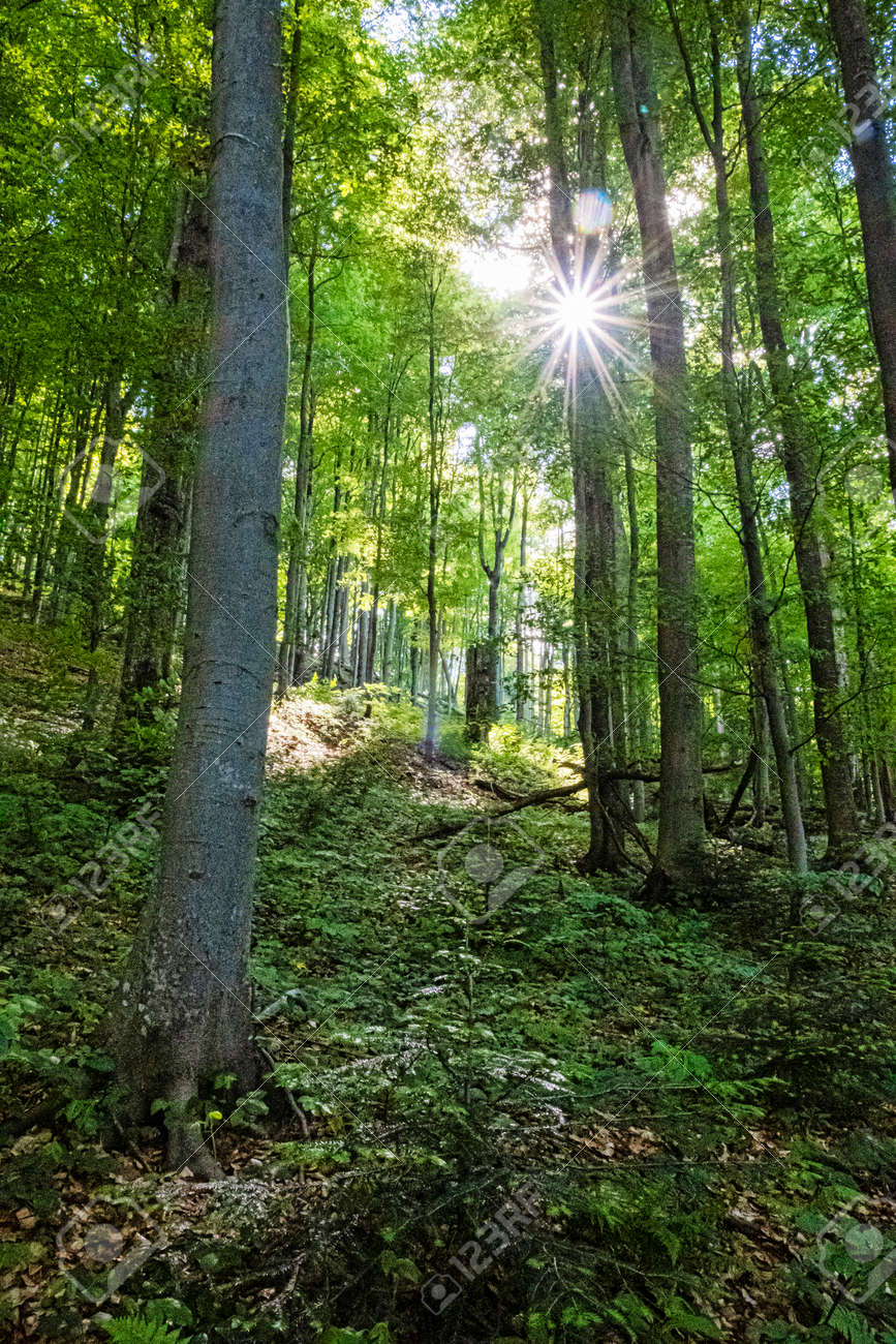 Sunrays in primeval forest Stuzica, National Park of Poloniny, Slovak republic. Seasonal natural scene. - 171317908