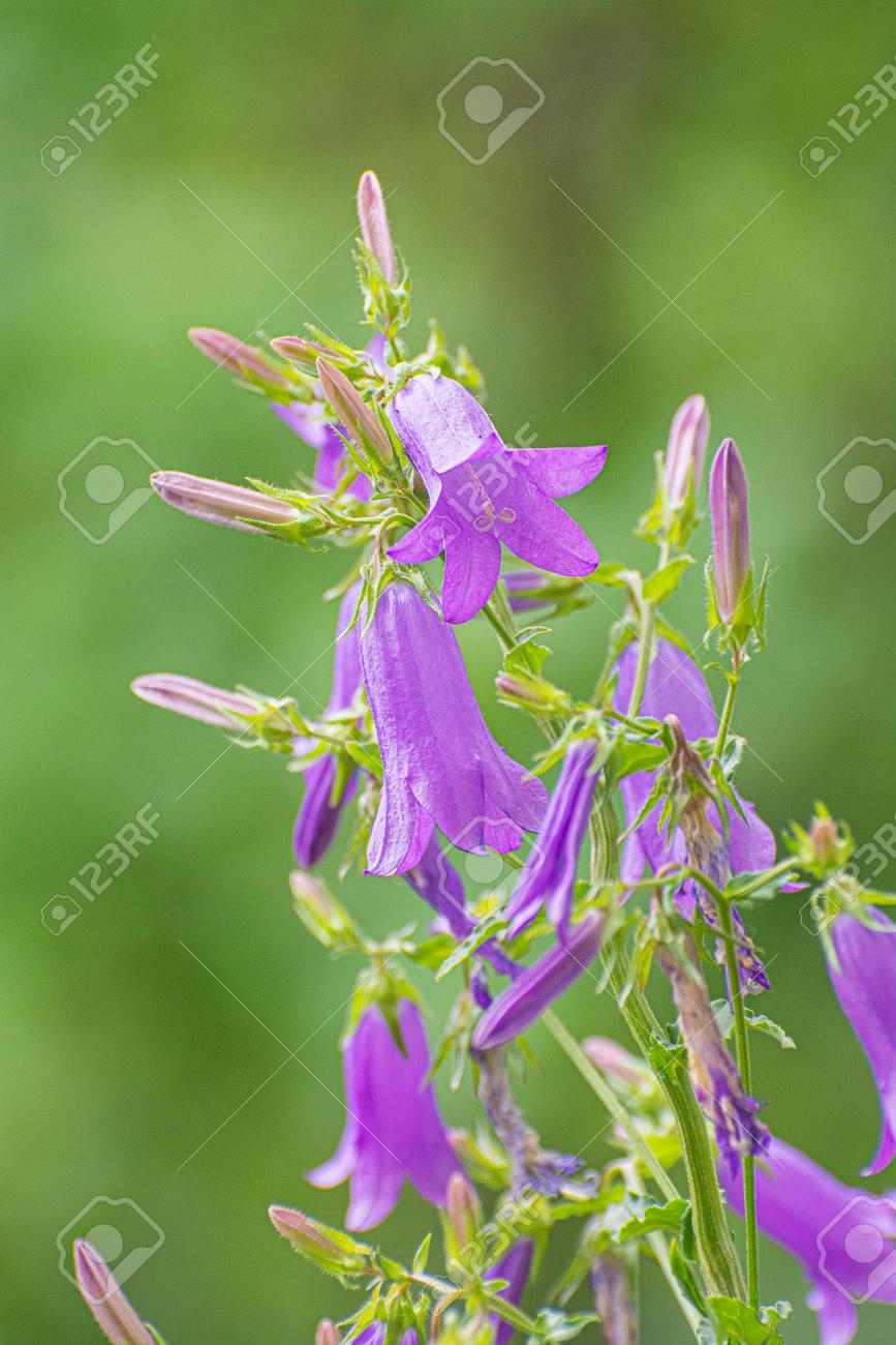 Campanula trachelium flowers, Slovak republic. Seasonal natural scene. - 171317912
