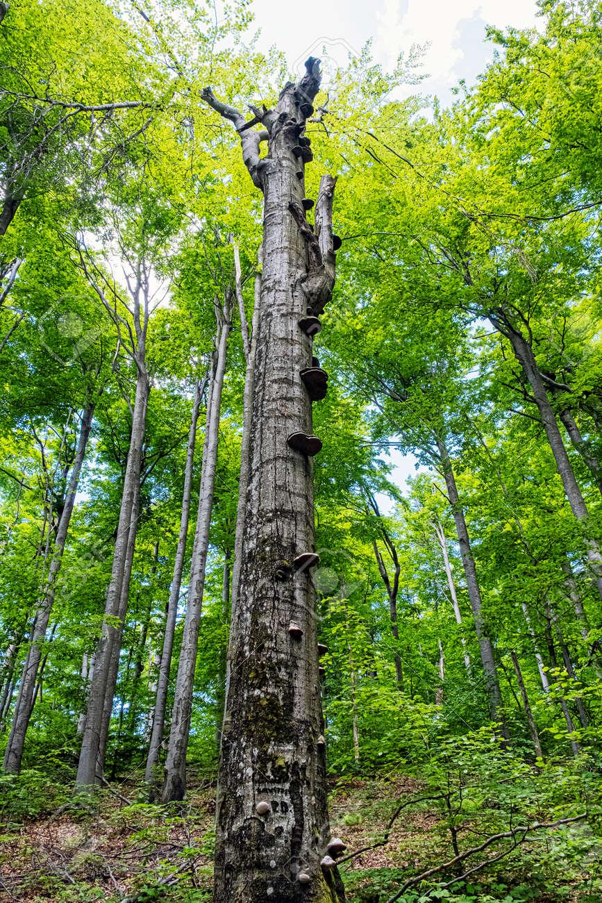 Dead tree in Beech forest, Vihorlat mountains mountains, Slovak republic. Summer scene. Hiking theme. - 171269314