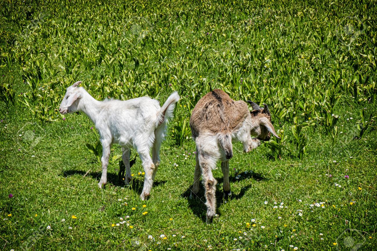 Two domestic goats, open-air museum in Stara Lubovna, Slovak republic. Animal scene. - 172148709