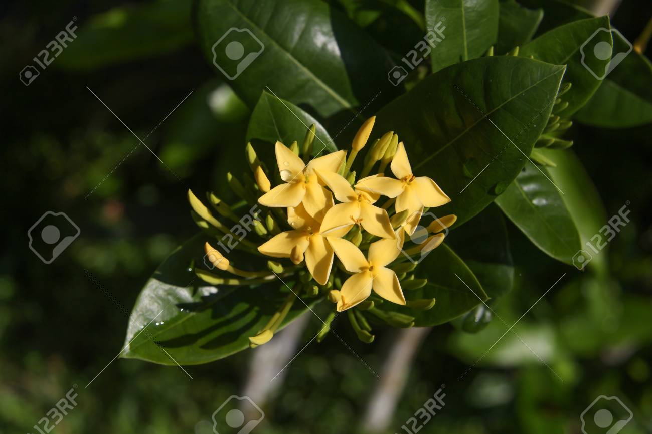 Tropical Yellow Flowers With Dew Drops Stock Photo Picture And