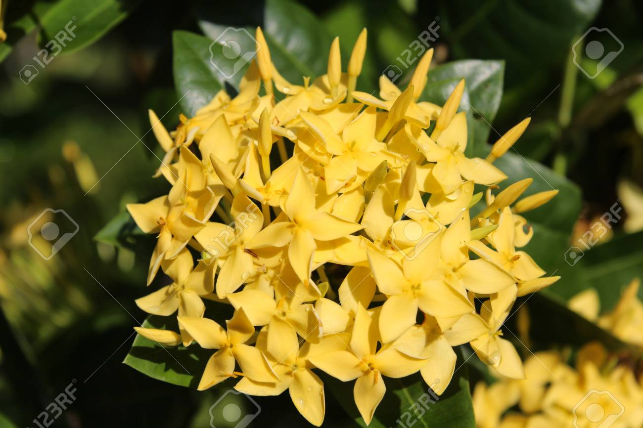 Tropical Yellow Flowers On A Branch Stock Photo Picture And Royalty