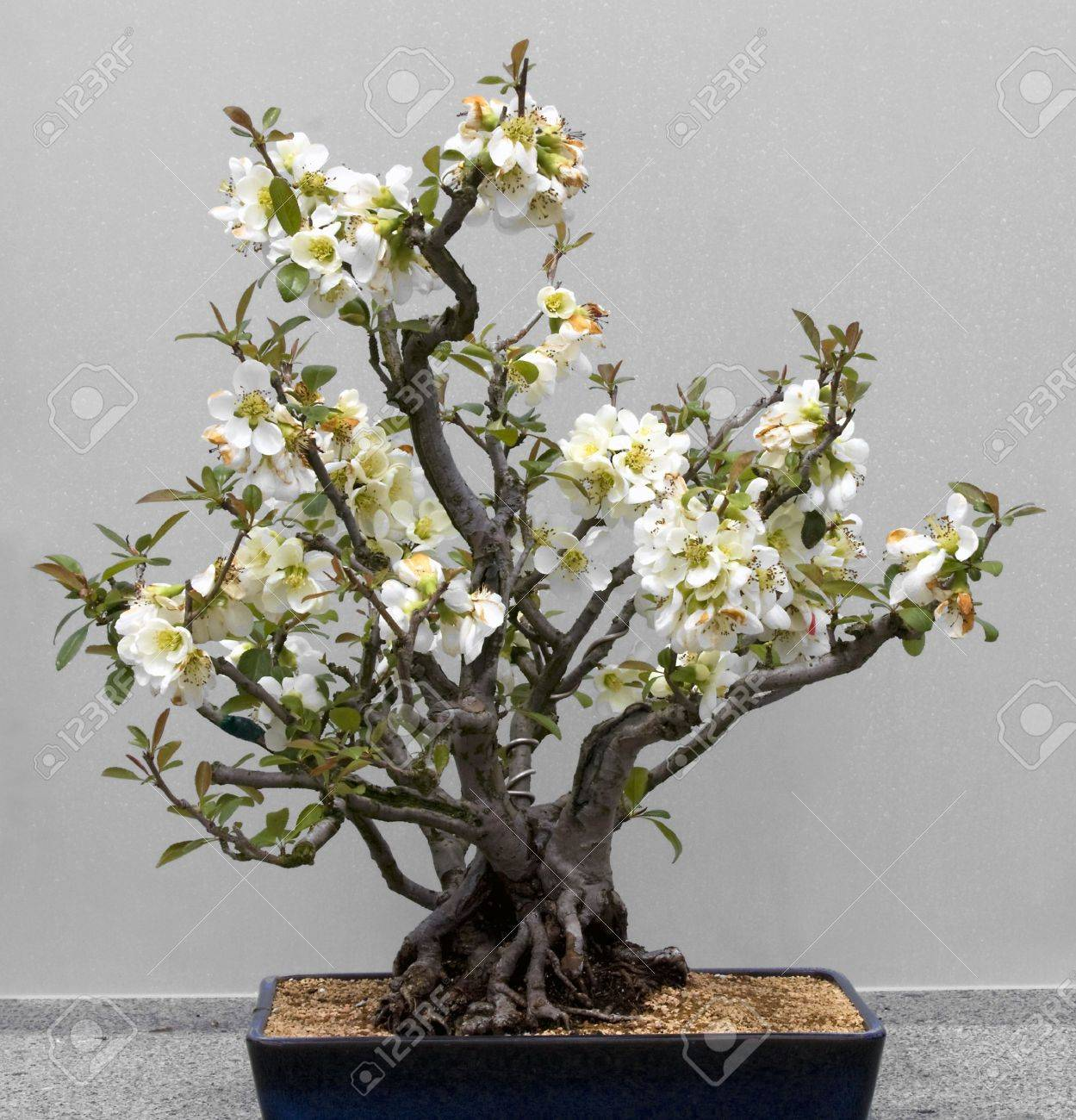 Bonsai Tree Against A White Background Lesser Flowering Quince Stock Photo Picture And Royalty Free Image Image 4780165