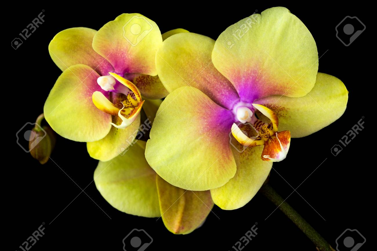 Close up of yellow orchid flower zen in the art of flowers stock close up of yellow orchid flower zen in the art of flowers macro mightylinksfo