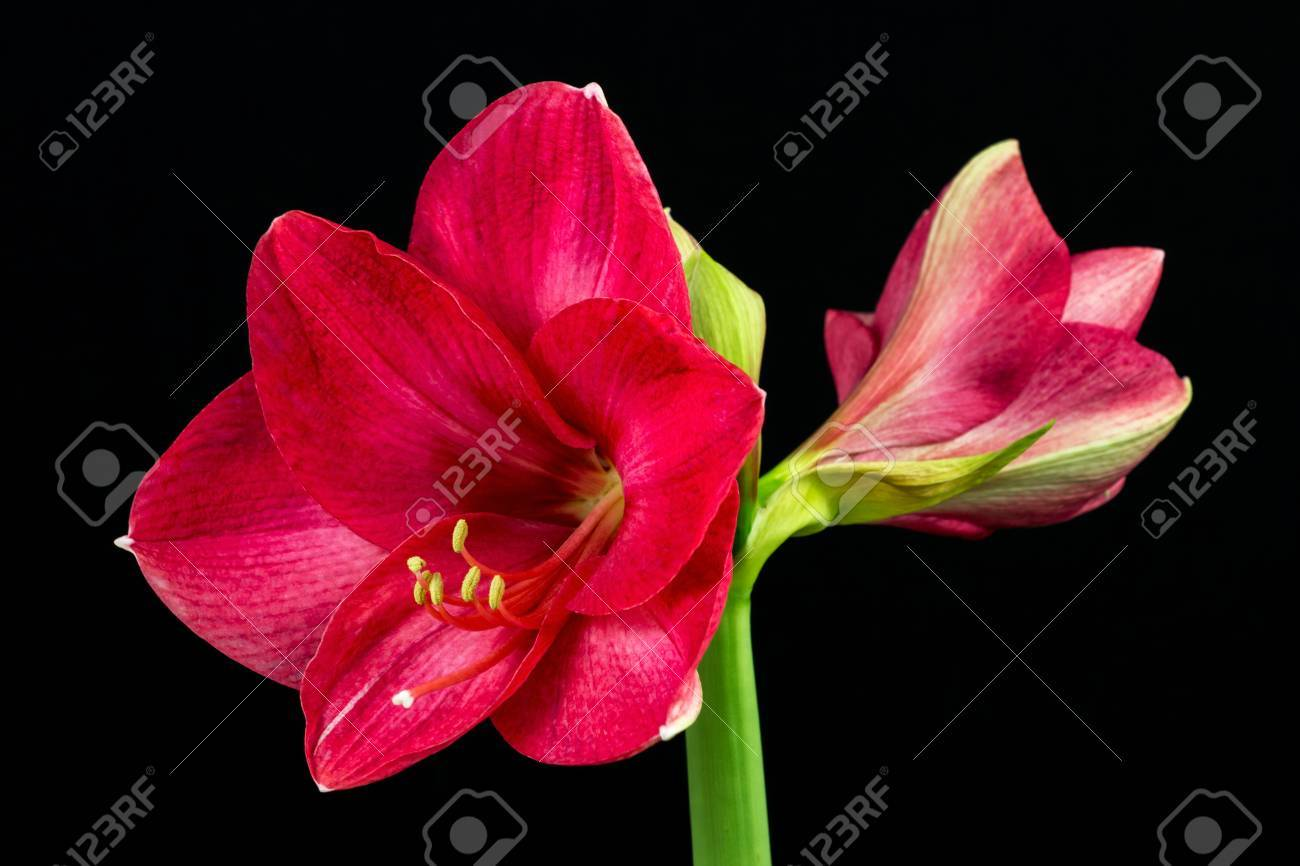 Close Up Of Pink Amaryllis Flower Zen In The Art Of Flowers