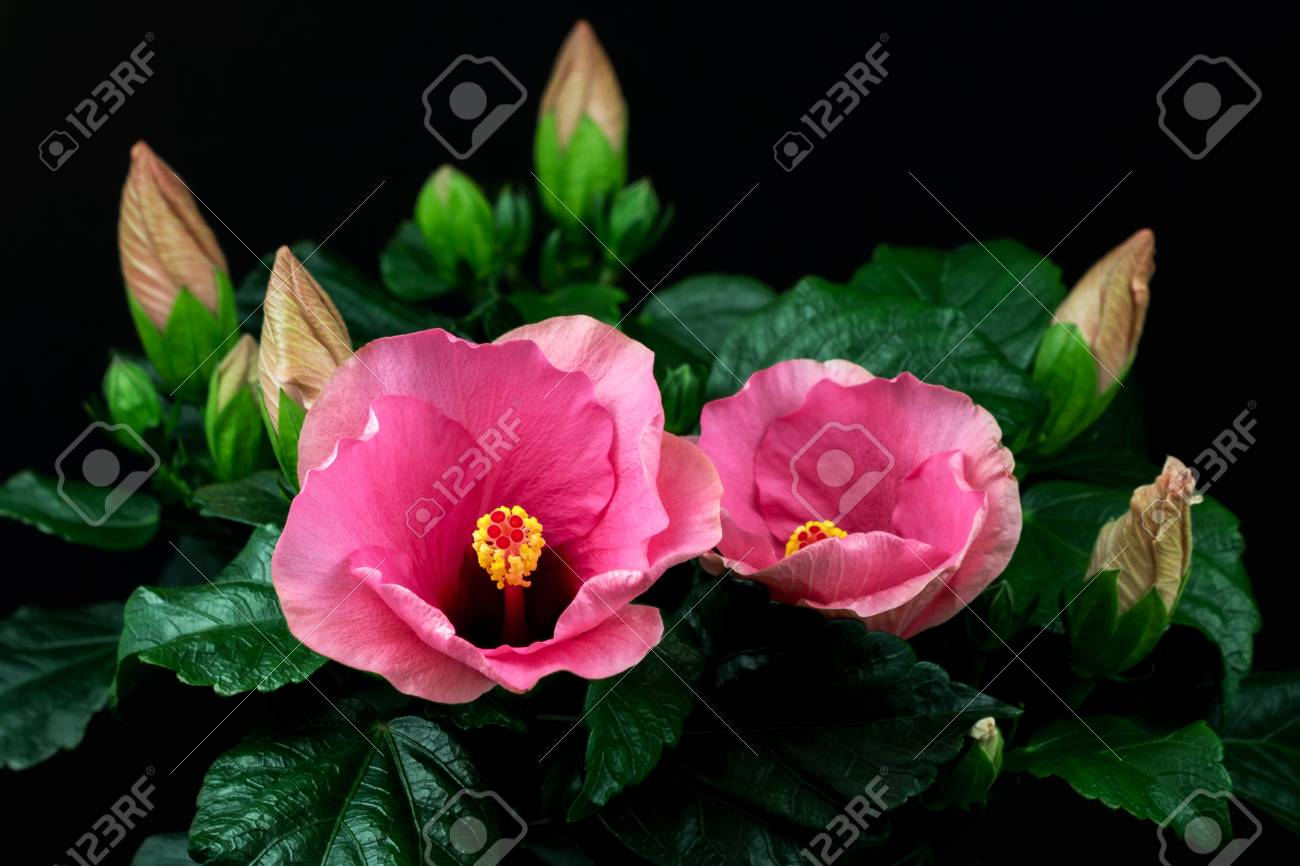Close Up Of Rosa Sinensis Hibiscus Flower Photography Of Nature Stock Photo Picture And Royalty Free Image Image 68670881