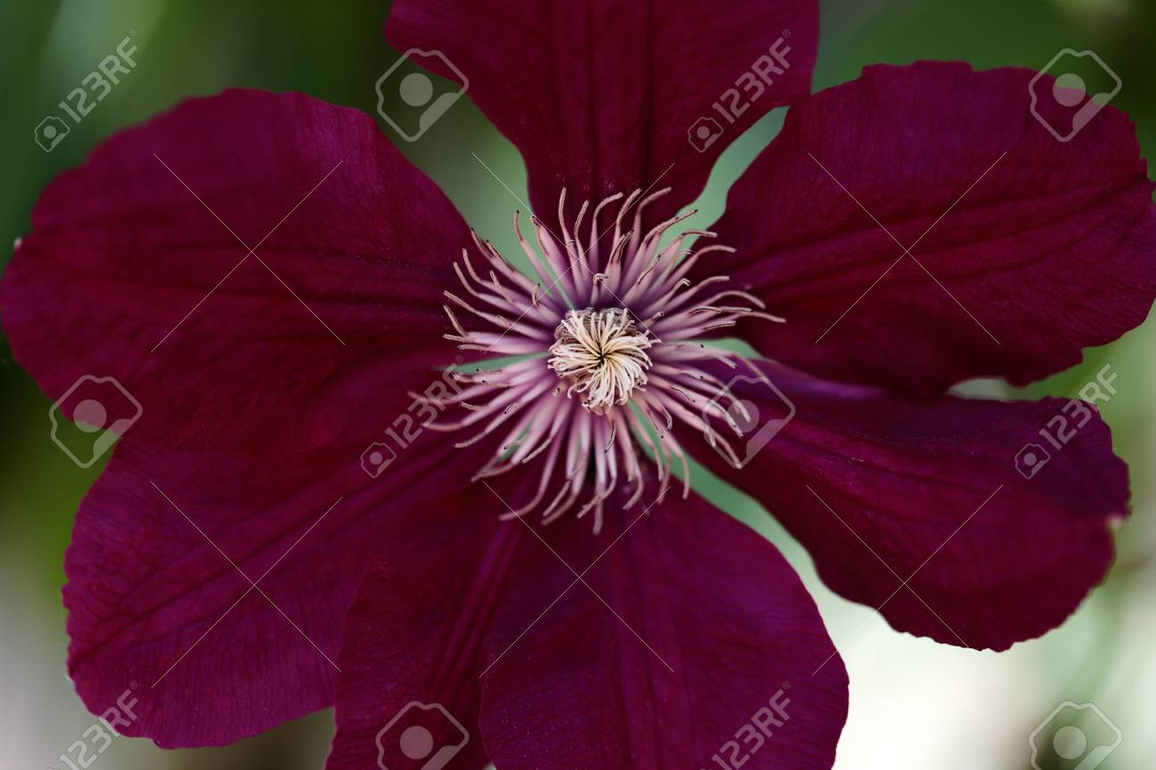 Close Up Of Of Pink Clematis Flower Climbing Plant In The Spring