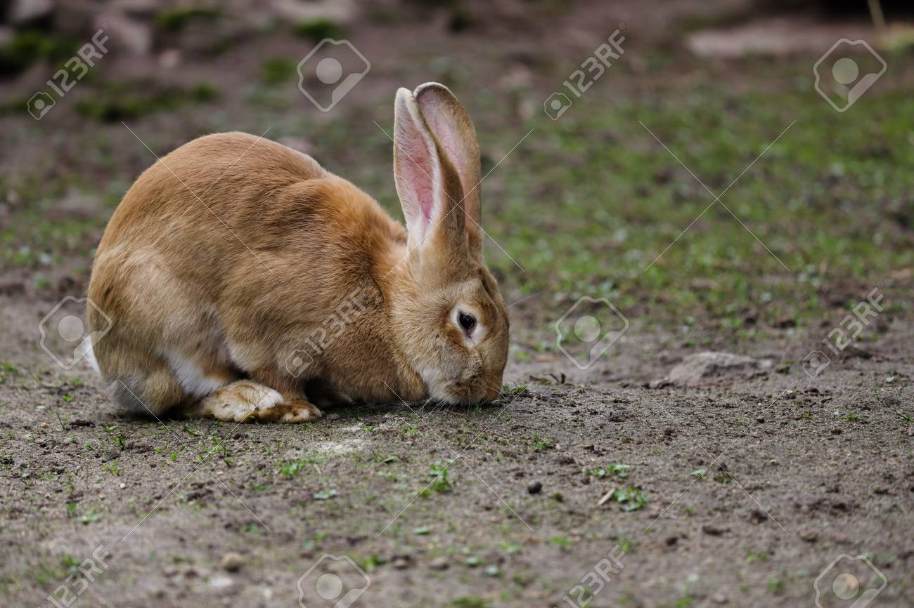Full Body Of Domestic Female Brown Flemish Giant Rabbit Photography