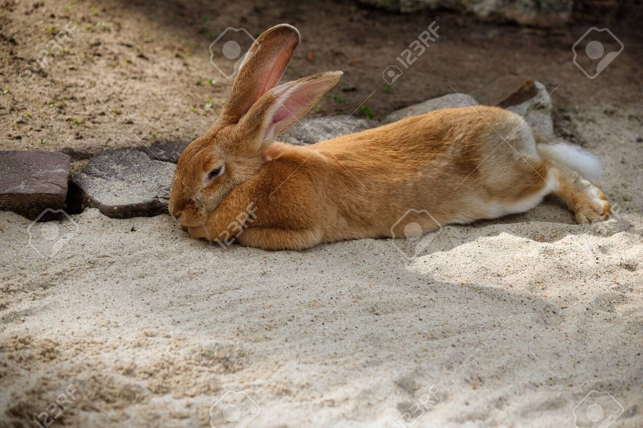 Full Body Of Domestic Male Brown Flemish Giant Rabbit Photography