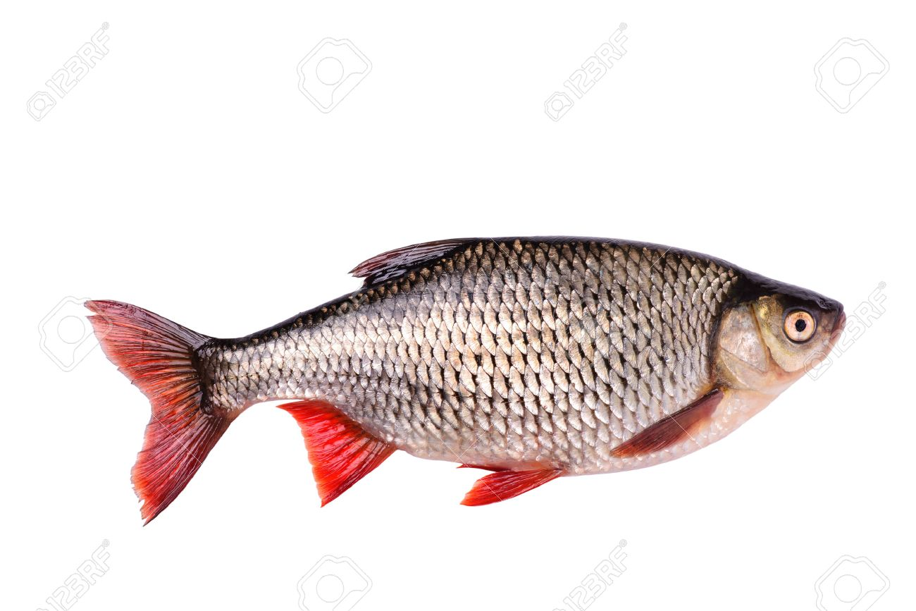 fish stock photos royalty free fish images and pictures