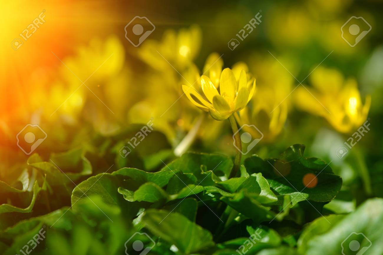Yellow Spring Flowers In The Garden With Sun Rays Beam Soft Stock