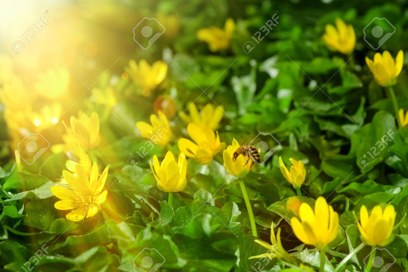 Yellow spring flowers in the garden with bee on plant sun rays stock photo yellow spring flowers in the garden with bee on plant sun rays beam soft focus horizontal orientation mightylinksfo