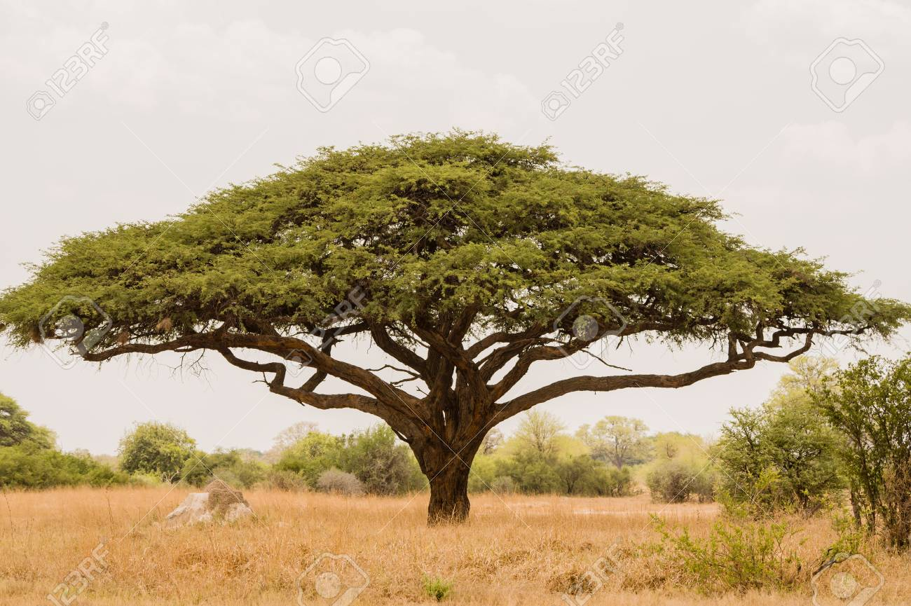 Acacia Tree In Savannah Zimbabwe South Africa Stock Photo Picture