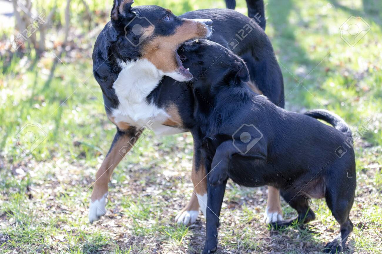Appenzeller Mountain Dog Plays With A Labrador Mix Puppy Outdoors
