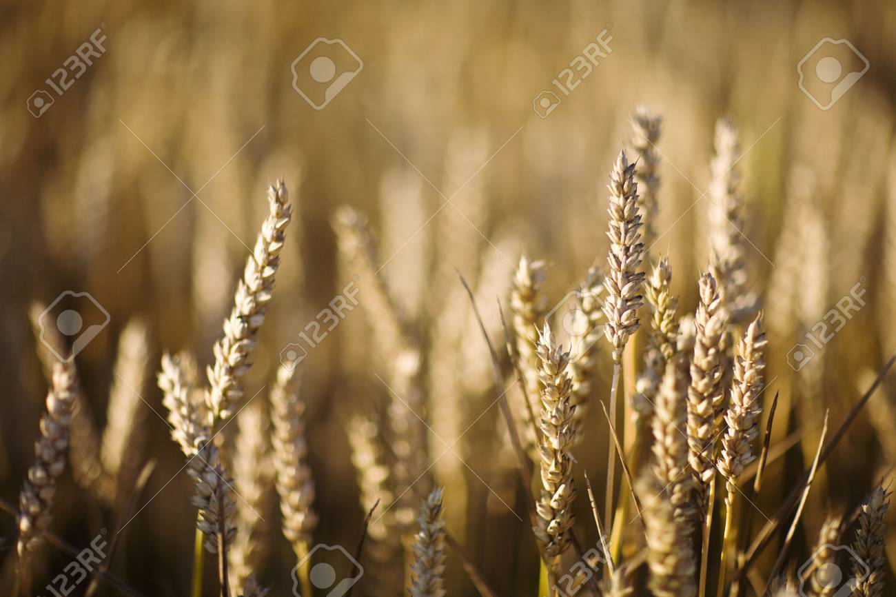 field of wheat Stock Photo - 3395827