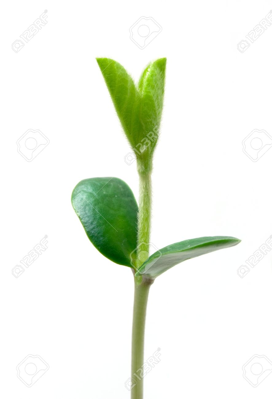 Small plant of soy Stock Photo - 4409737