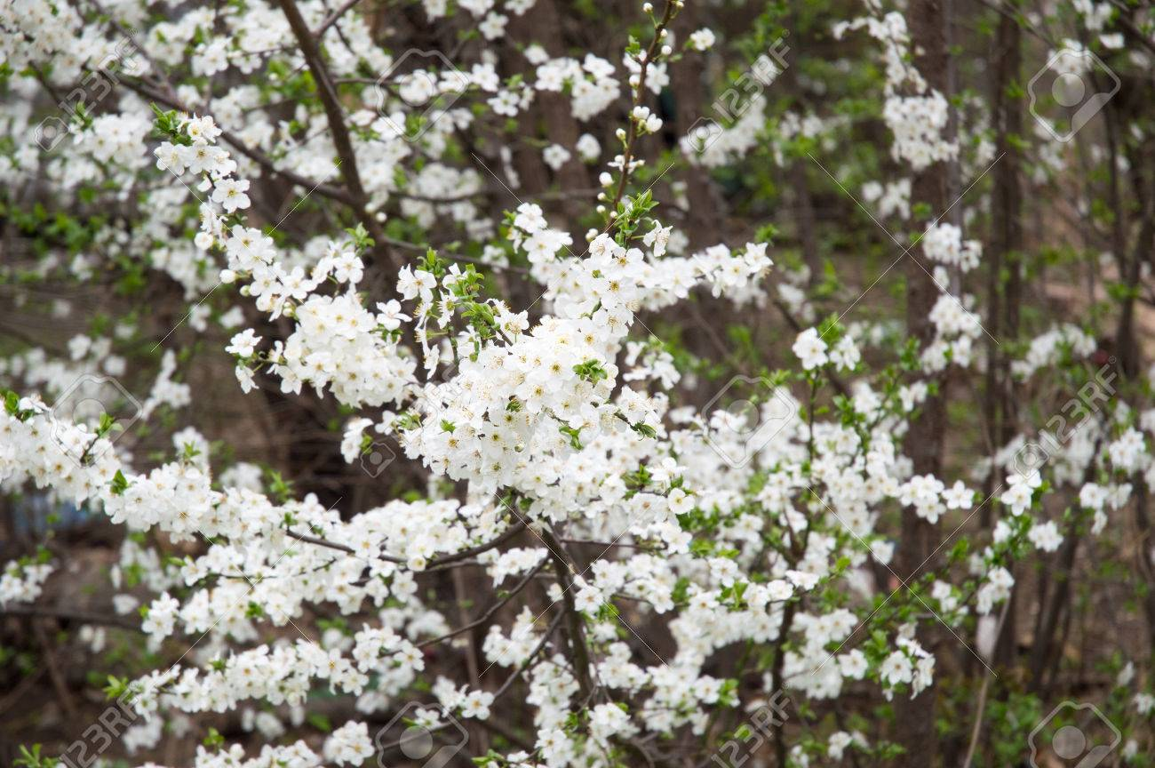 White Spring Tree Flowers Focused In The Middle With Blurry