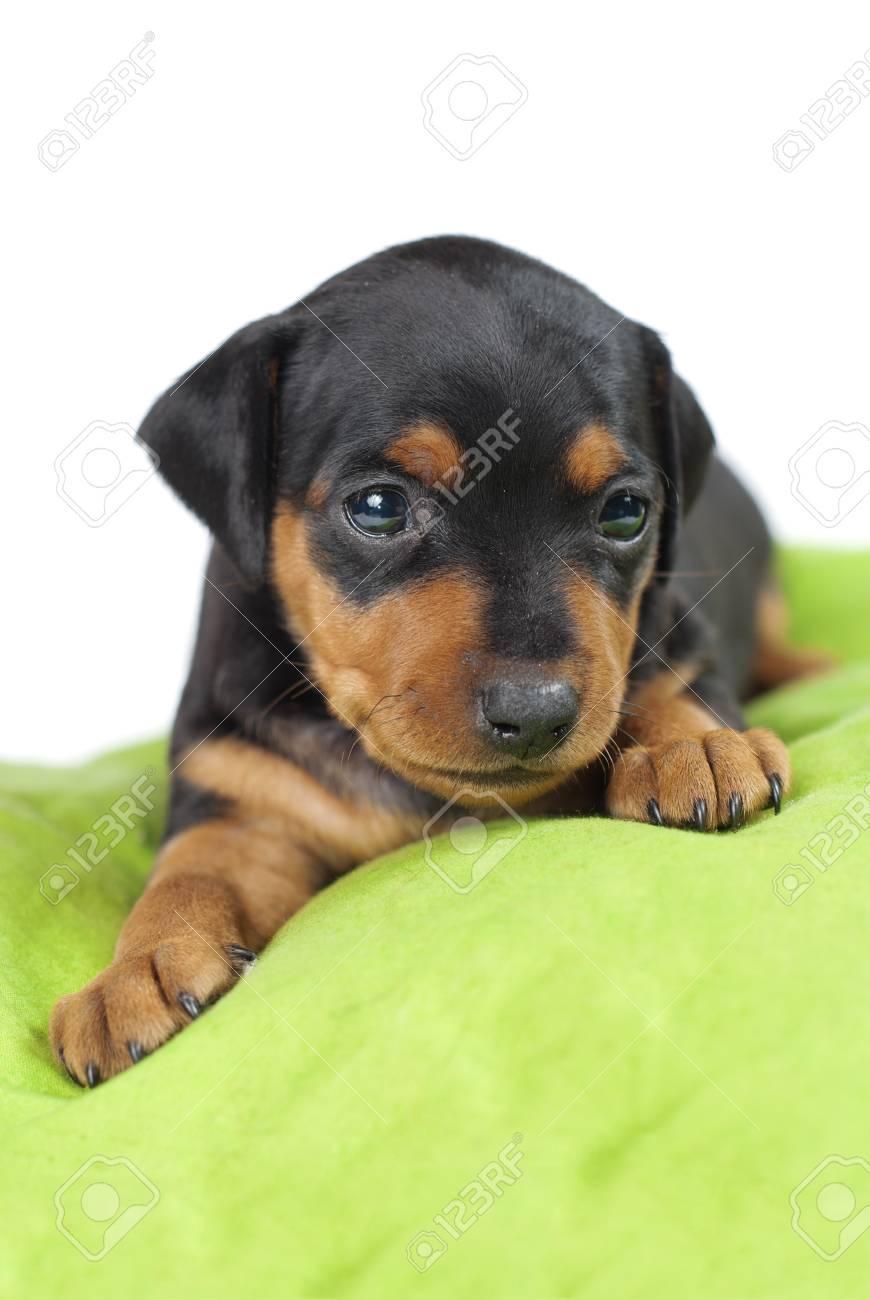 miniaturepinscher cute puppy Stock Photo - 12291550