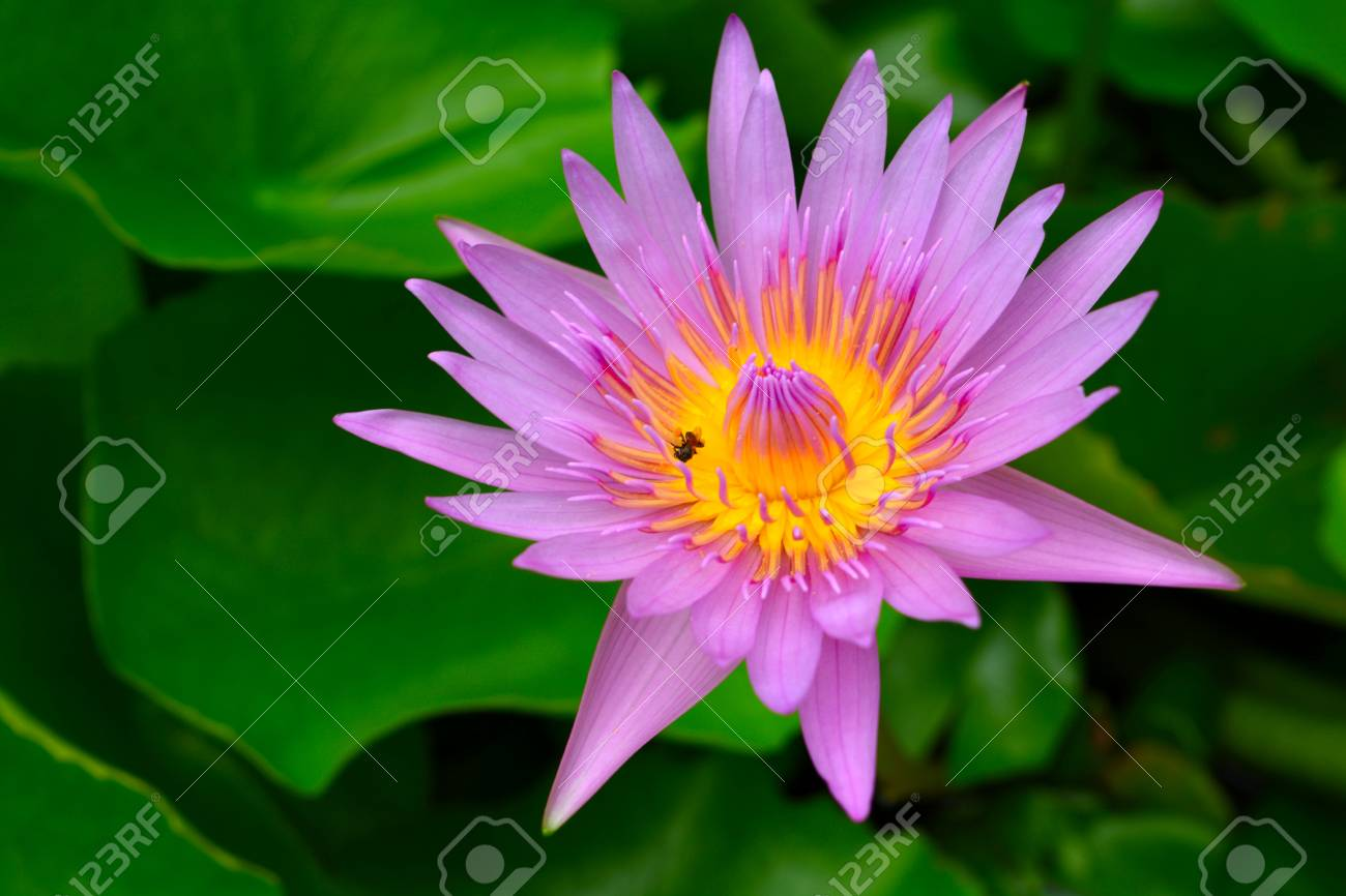 Beautiful lotus flower is the symbol of the buddha thailand stock beautiful lotus flower is the symbol of the buddha thailand stock photo 80199180 izmirmasajfo