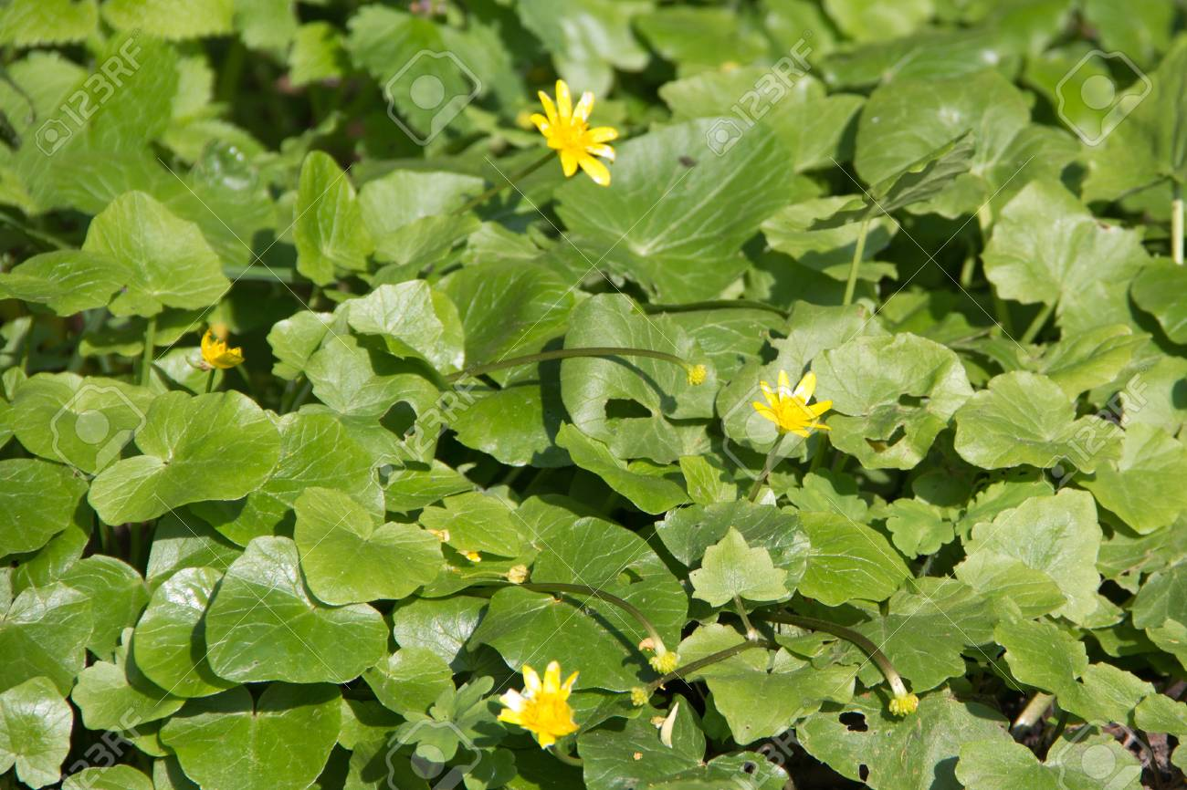 yellow flowers and green leaves in early spring