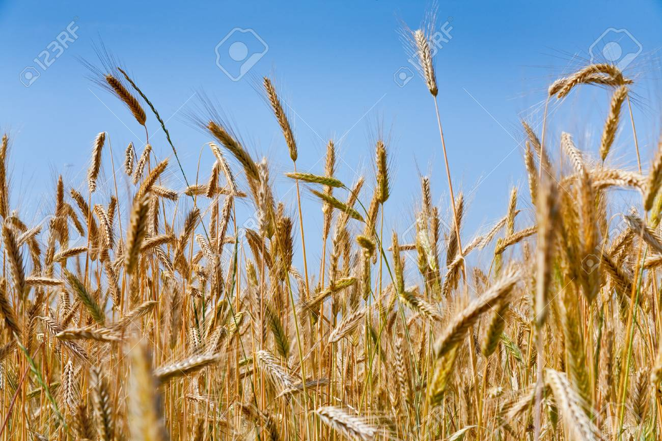 yellow rye ears close up in field Stock Photo - 8911390